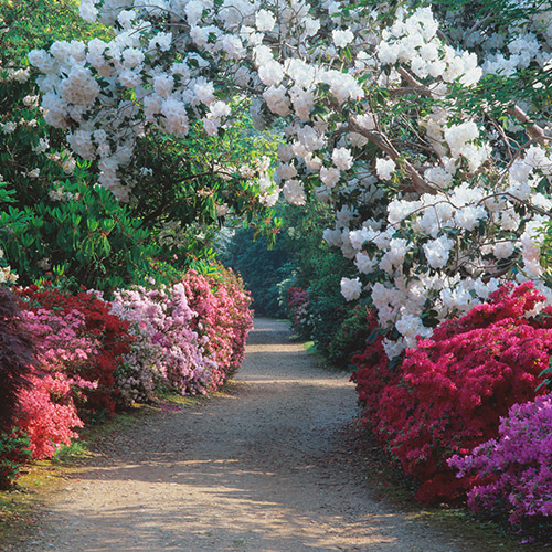 rhododendrons in spring at Exbury Gardens, garden in hampshire, New Forest