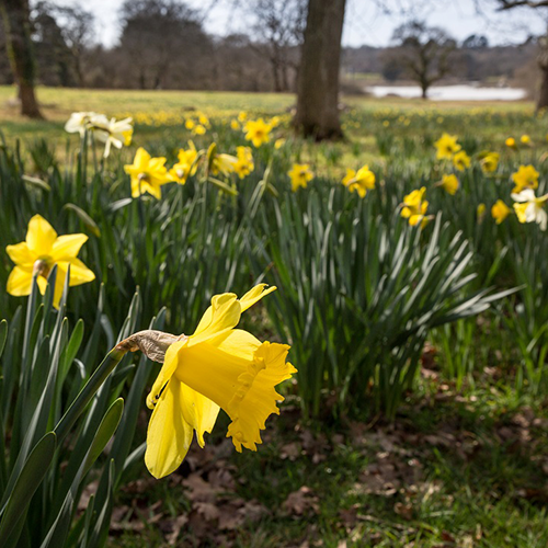Daffodil meadow event image