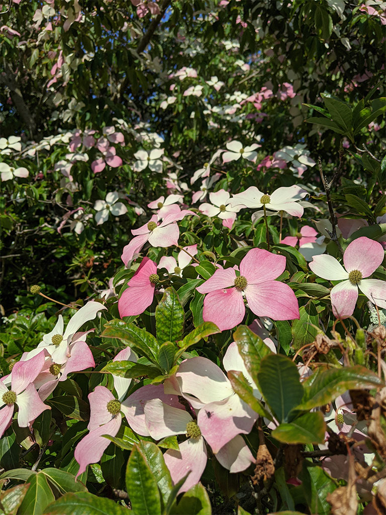 Flowering dogwoods cornus | Top Pond | Exbury Gardens | New Forest, Hampshire