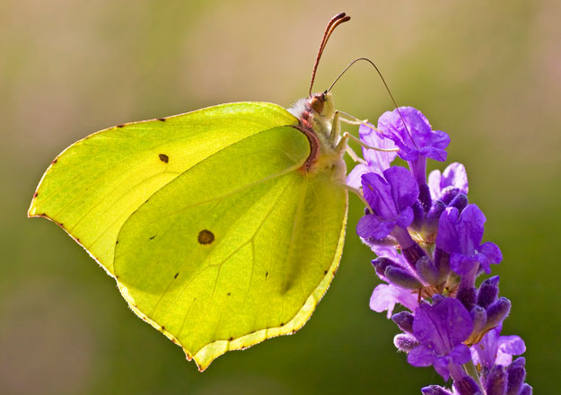 Male Brimstone