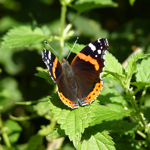 Red Admiral sq