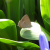 Purple Hairstreak banner 3