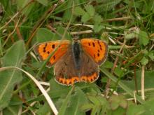 Small copper (3)