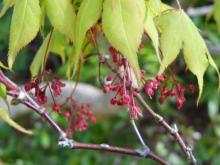 Japanese maple flowers