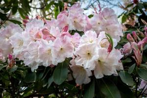 Rhodo Loderi King George 2