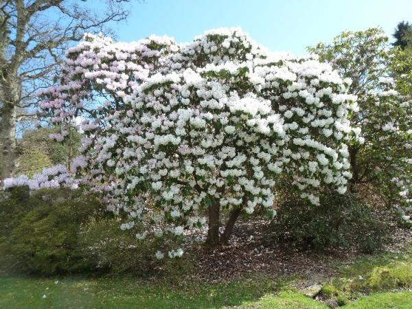 rhododendron avalanche